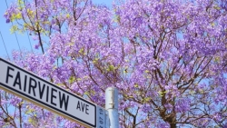 Thành phố Pretoria ở Nam Phi chìm trong sắc 'mộng mơ' của hoa phượng tím