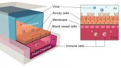 Ứng dụng chip đường thở nhằm tăng tốc thử nghiệm các phương pháp điều trị Covid-19