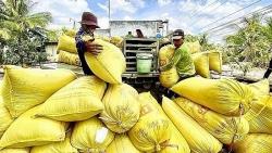 Tắc nghẽn lưu thông lúa gạo, doanh nghiệp 'khó chồng khó'