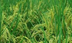 Trung Quốc trồng thành công 'lúa khổng lồ' cao hơn 2 mét