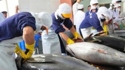 Xuất khẩu cá ngừ tăng trưởng ấn tượng nhờ 'đường cao tốc' EVFTA