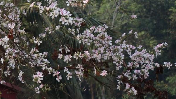 Giới thiệu vẻ đẹp của hoa ban trong chuỗi hoạt động 'Mùa Xuân nho nhỏ'