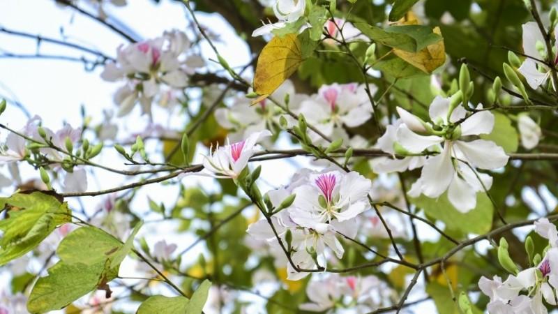 Ngắm hoa ban nở trắng núi rừng Điện Biên