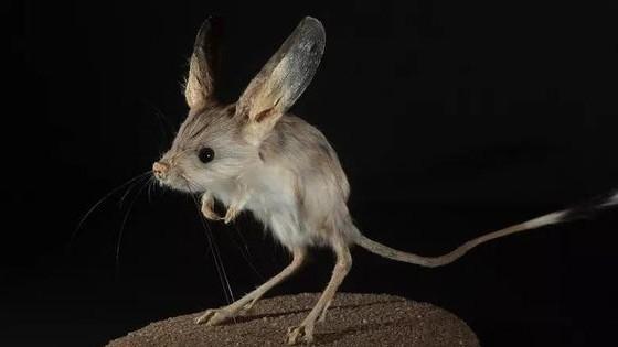 Tìm thấy 'họ hàng nhà chuột Mickey' là chuột nhảy Euchoreutes naso