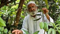 Ấn Độ: Thần kỳ 300 giống quả trên cùng một cây xoài của cụ ông 80 tuổi