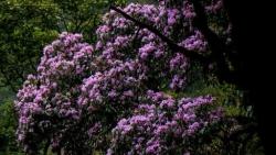 Cánh rừng hoa đỗ quyên tím trời Tây Bắc, đẹp như cổ tích
