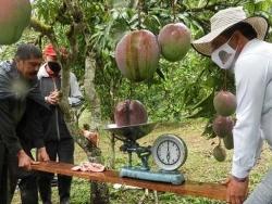 Vợ chồng nông dân thu trái xoài nặng 4,25kg lập kỷ lục Guiness
