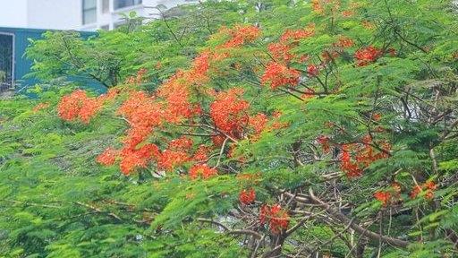 Hoa phượng rực rỡ sắc đỏ tô điểm phố phường Hà Nội