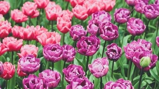 Cùng ngắm những bông hoa Tulip hiếm có khó tìm