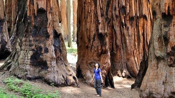 Khám phá công viên Sequoia, xem du khách đọ dáng với những gốc cây cổ thụ khổng lồ hàng nghìn năm tuổi