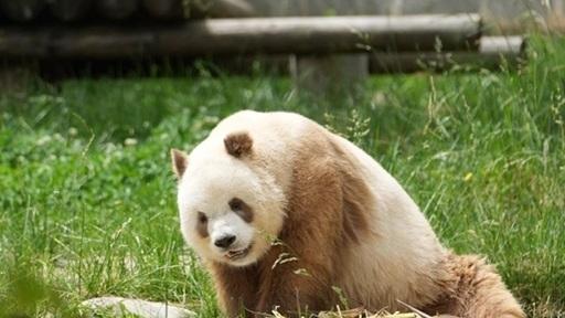 Giải mã màu lông độc đáo của cá thể gấu trúc nâu duy nhất trên thế giới