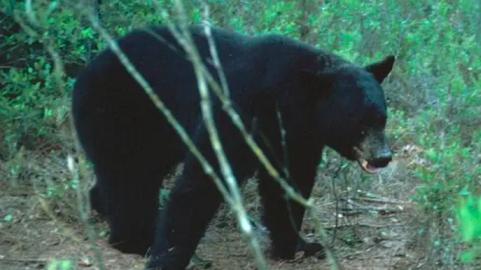 Mỹ: Gấu đen lang thang trong thành phố ở Florida, lẩn trốn con người