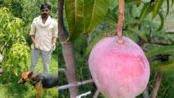 Ấn Độ: Thuê 4 bảo vệ để trông... 7 quả xoài đắt nhất thế giới nhưng không bán