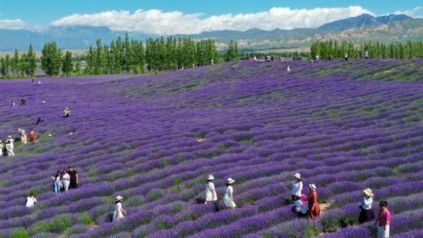 Ngây ngất trước vẻ đẹp của cánh đồng hoa oải hương ở Tân Cương, Trung Quốc
