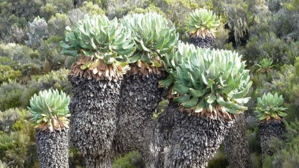 Tìm hiểu cây kỳ lạ, độc nhất vô nhị trên ngọn núi cao nhất châu Phi