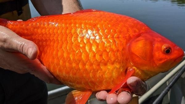 Mỹ: Phát hiện cá vàng khổng lồ ở Minnesota