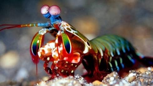 Bất ngờ về sức mạnh tôm bọ ngựa, một cú đấm có thể làm vỡ bể cá cảnh
