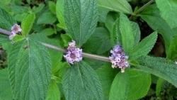 Tìm ra hợp chất có khả năng chữa ung thư trong cây Lippia alba