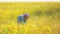 Hơn 1 tháng không có ca nhiễm Covid-19 mới, Campuchia dỡ bỏ lệnh cấm xuất khẩu thóc, gạo và cá
