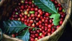 Giá cà phê hôm nay 4/3: Cà phê robusta chuyển xuống vùng 1.420-1.440 USD/tấn, những yếu tố có thể tác động giảm giá?