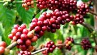 Giá cà phê hôm nay 6/5: Đồng loạt tăng vọt, robusta chính thức vượt đỉnh 1.550 USD, cầu đang dần trở lại
