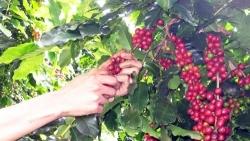 Giá cà phê hôm nay 23/6: Bốc hơi mạnh trên cả hai sàn, cà phê vẫn được dự báo tăng trong ngắn hạn?