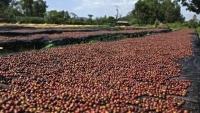 Giá cà phê hôm nay 16/3: Sàn giao dịch đỏ lửa, dự báo dư thừa, đà tăng của cà phê có còn?