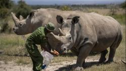 Hai mẹ con tê giác trắng phương Bắc cuối cùng và cuộc chạy đua để cứu giống loài